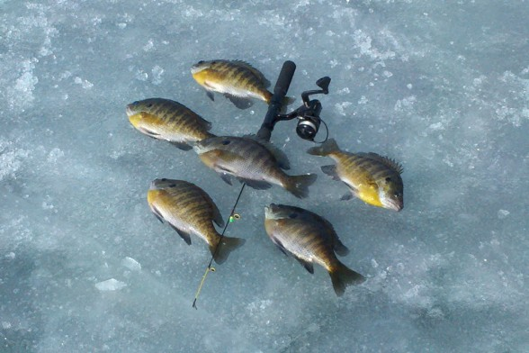 A tiny jig tipped with a meal worm or a similarly small bait can produce banner catches of panfish through the ice, like these bluegills.